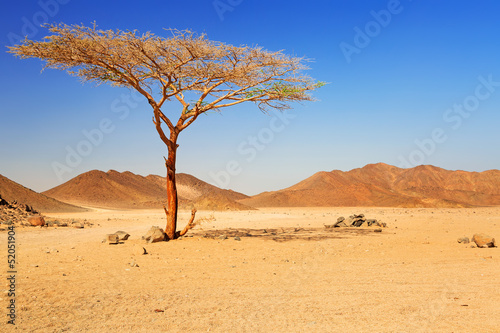Leinwanddruck Bild Idyllic desert scenery with single tree, Egypt