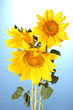 beautiful sunflowers, on blue background