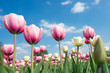 Pink tulips on a background of the sky