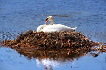Swan in the nest in middle of water