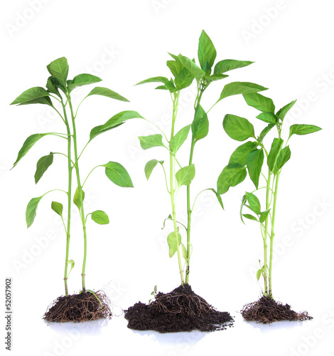Pepper seedlings isolated on white