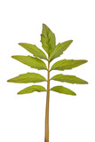 stevia rebaudiana green leaf  herb