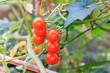 red organic tomato plant