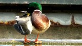 Mallard Duck sitting at the waterside