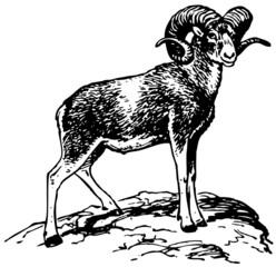 Argali mountain sheep