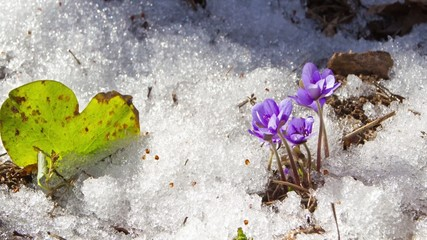 melting snow and spring flowers , time-lapse