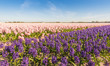 Field with pink and purple blooming Hyacinth bulbs