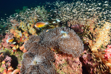Shoal of Glassfish (Golden Sweepers) and anemonefish in clear bl