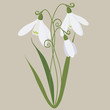 snowdrop the spring ordinary gentle vector illustration
