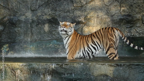 Big tiger in the waterwall
