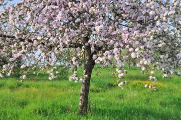 floraison d'un pommier