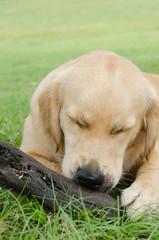 棒遊びに夢中な子犬 (ゴールデン、9ヶ月)
