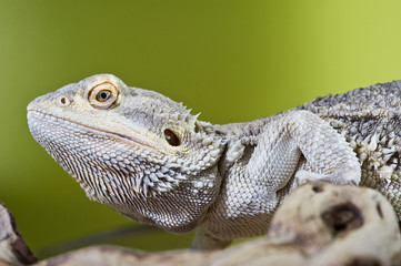 Bearded dragon reptile lizard on a branch on green blurred backg