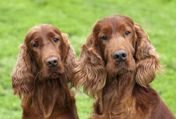 Cute Irish Setter pair looking at the camera
