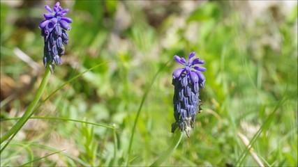 Jacinthe à Grappes(muscari armeniacum)