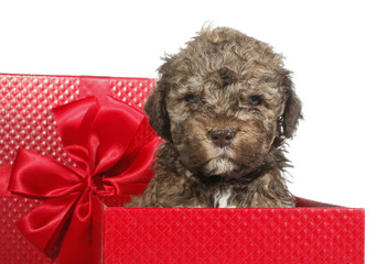 Lagotto Romagnolo dog puppy as gift
