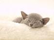 可愛い眠るロシアンブルーの子猫