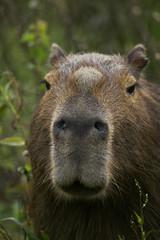 portrait of male capybara
