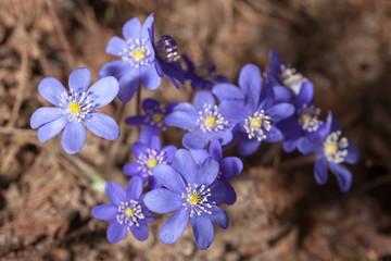 hepatica blooming