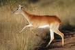 Running red lechwe antelope
