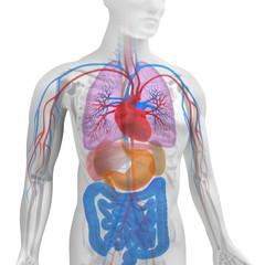 3D Körper mit Organen
