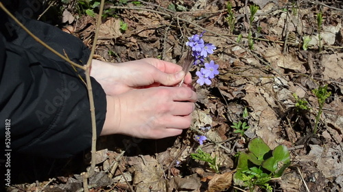 girl picks small violets flowers between the dry leaves