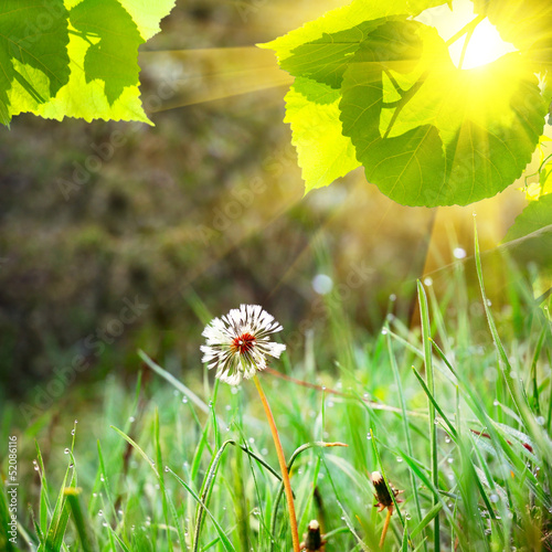 white dandelion on the green grass