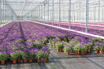 Purple flowers in a greenhouse