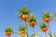 Orange Crown Imperial Lily, latin name - Frittilaria imperialis