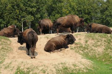 Quebec, bison in the Saint Felicien zoo