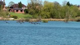 Canada Geese In Flight - Doxey Nature Reserve, Staffordshire,UK