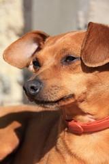 Pinscher nain noir beige marron dobermann