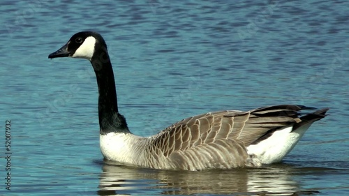 Canada Geese Swimming - Doxey Nature Reserve, Staffordshire,UK