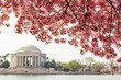 Cherry blossom over Jefferson Memorial in Washington DC
