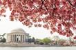 Cherry blossom over Jefferson Memorial in Washington DC