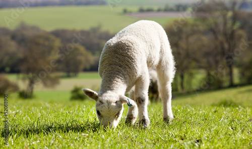 Single lamb eating grass