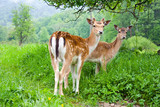A group of young fallow deer