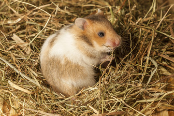 Hamster in a hay, portrait of popular pet