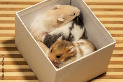 Young hamsters in a box, portrait of popular pet.