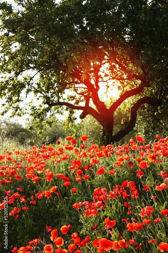 In de dag Poppy Giardino fiorito