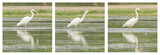 Great Egret / White Heron photo series