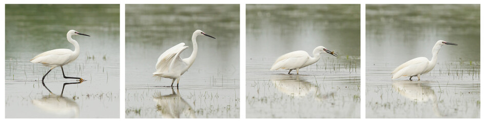 Egretta garzetta or small white heron photo series