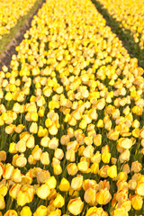 Field of beautiful yellow Dutch tulips