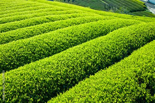 新緑の茶畑
