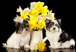 puppies Beaver Yorkshire Terrier and flowers  narcissus