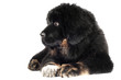 tibetan mastiff puppy sad