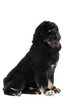 adorable black tibetan mastiff puppy