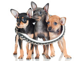 three adorable russian toy puppies in a big collar