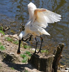 White spoonbill flying