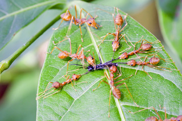 Red ants attacking a insect on leaf